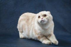 Χαριτωμένη σκωτσέζικη γάτα πτυχών που μένει τέσσερα πόδια στο σκούρο μπλε υπόβαθρο Στοκ φωτογραφία με δικαίωμα ελεύθερης χρήσης
