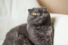 Χαριτωμένη σκωτσέζικη γκρίζα γάτα πτυχών με τα κίτρινα μάτια Στοκ εικόνα με δικαίωμα ελεύθερης χρήσης