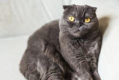 Χαριτωμένη σκωτσέζικη γκρίζα γάτα πτυχών με τα κίτρινα μάτια Στοκ Εικόνες