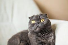 Χαριτωμένη σκωτσέζικη γκρίζα γάτα πτυχών με τα κίτρινα μάτια Στοκ φωτογραφία με δικαίωμα ελεύθερης χρήσης
