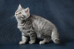 Χαριτωμένη σκωτσέζικη ευθεία γάτα που μένει τέσσερα πόδια στο σκούρο μπλε υπόβαθρο Στοκ Εικόνες