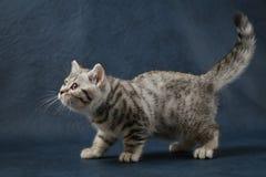 Χαριτωμένη σκωτσέζικη ευθεία γάτα που μένει τέσσερα πόδια στο σκούρο μπλε υπόβαθρο Στοκ φωτογραφία με δικαίωμα ελεύθερης χρήσης