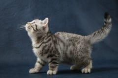 Χαριτωμένη σκωτσέζικη ευθεία γάτα που μένει τέσσερα πόδια στο σκούρο μπλε υπόβαθρο Στοκ εικόνα με δικαίωμα ελεύθερης χρήσης