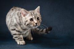 Χαριτωμένη σκωτσέζικη ευθεία γάτα που μένει τέσσερα πόδια στο σκούρο μπλε υπόβαθρο Στοκ Φωτογραφία