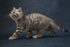 Χαριτωμένη σκωτσέζικη ευθεία γάτα που μένει τέσσερα πόδια στο σκούρο μπλε υπόβαθρο Στοκ Φωτογραφίες
