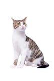 Χαριτωμένη συνεδρίαση γατών shorthair στο άσπρο υπόβαθρο στοκ εικόνες