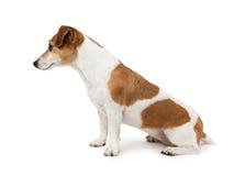 Χαριτωμένη συνεδρίαση τεριέ του Jack Russell σκυλιών λοξά στο σχεδιάγραμμα στοκ εικόνα