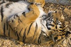 Χαριτωμένη τίγρη που παίρνει ένα NAP Στοκ εικόνες με δικαίωμα ελεύθερης χρήσης