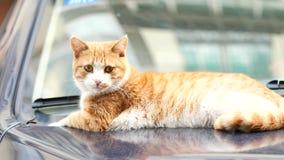 Χαριτωμένη τιγρέ γάτα πιπεροριζών που ξαπλώνει στο αυτοκίνητο και που κοιτάζει γύρω alertly, που στρέφεται στα μάτια του, κινηματ φιλμ μικρού μήκους