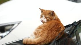 Χαριτωμένη τιγρέ γάτα πιπεροριζών που ξαπλώνει στο αυτοκίνητο και που κοιτάζει γύρω alertly, που στρέφεται στα μάτια του, κινηματ απόθεμα βίντεο