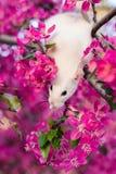 Χαριτωμένη φανταχτερή συνεδρίαση αρουραίων στο ροδαλό άνθος μήλων Στοκ Φωτογραφίες