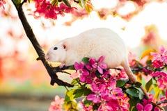 Χαριτωμένη φανταχτερή συνεδρίαση αρουραίων στο ροδαλό άνθος μήλων Στοκ φωτογραφία με δικαίωμα ελεύθερης χρήσης