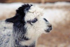 Χαριτωμένη χνουδωτή γκρίζα άσπρη κινηματογράφηση σε πρώτο πλάνο προβατοκαμήλου Στοκ Εικόνα
