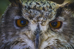 Χαριτωμένη, όμορφη κουκουβάγια με τα έντονα μάτια και όμορφο φτέρωμα Στοκ εικόνες με δικαίωμα ελεύθερης χρήσης