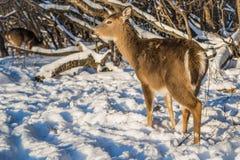 Χαριτωμένοι νέοι χνουδωτοί περίπατοι ελαφιών στο χιονώδες δάσος, ΗΠΑ στοκ εικόνες