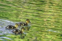 Χαριτωμένοι νεοσσοί στη λίμνη στοκ φωτογραφίες με δικαίωμα ελεύθερης χρήσης