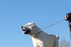 Χαριτωμένοι περίπατοι σκυλιών στο λουρί Στοκ εικόνα με δικαίωμα ελεύθερης χρήσης