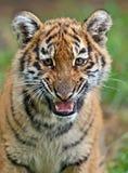 χαριτωμένος λίγη τίγρη Στοκ Εικόνες