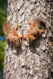 Χαριτωμένος λίγος κόκκινος σκίουρος Στοκ εικόνα με δικαίωμα ελεύθερης χρήσης