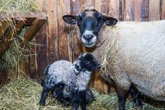 Χαριτωμένος λίγο αρνί με τα πρόβατα μητέρων Στοκ εικόνα με δικαίωμα ελεύθερης χρήσης