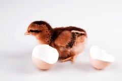 Χαριτωμένος λίγο κοτόπουλο ένα άσπρο αυγό που απομονώνεται που βγαίνει από στο λευκό Στοκ Φωτογραφία