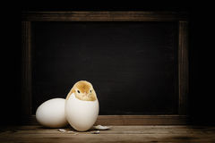 Χαριτωμένος λίγο κοτόπουλο που βγαίνει από ένα αυγό Στοκ φωτογραφία με δικαίωμα ελεύθερης χρήσης