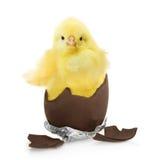 Χαριτωμένος λίγο κοτόπουλο που βγαίνει από τη σοκολάτα Στοκ Φωτογραφία