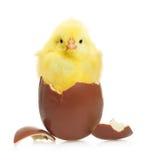 Χαριτωμένος λίγο κοτόπουλο που βγαίνει από τη σοκολάτα Στοκ εικόνες με δικαίωμα ελεύθερης χρήσης