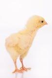 Χαριτωμένος λίγο κοτόπουλο Στοκ Εικόνες
