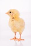 Χαριτωμένος λίγο κοτόπουλο Στοκ φωτογραφία με δικαίωμα ελεύθερης χρήσης