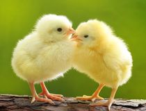 Χαριτωμένος λίγο κοτόπουλο Στοκ Φωτογραφίες