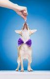 Χαριτωμένος λίγο νέο chivava που ανατρέχει για τα τρόφιμα σκυλιών Στοκ Εικόνες