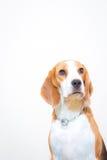 Χαριτωμένος λίγο πορτρέτο στούντιο σκυλιών λαγωνικών - άσπρο υπόβαθρο στοκ φωτογραφίες με δικαίωμα ελεύθερης χρήσης
