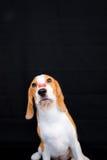 Χαριτωμένος λίγο πορτρέτο στούντιο σκυλιών λαγωνικών με το πρόχειρο φαγητό στη μύτη στοκ εικόνες