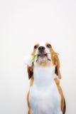 Χαριτωμένος λίγο πορτρέτο στούντιο σκυλιών λαγωνικών - λουλούδι λαβής στο στόμα στοκ φωτογραφία