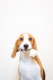 Χαριτωμένος λίγο πορτρέτο στούντιο σκυλιών λαγωνικών - λουλούδι λαβής στο στόμα στοκ εικόνα