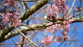 Χαριτωμένος λίγο πουλί που τρώει το νέκταρ του δέντρου ανθών κερασιών απόθεμα βίντεο