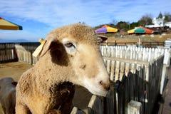 χαριτωμένος λίγο πρόβατο Στοκ Εικόνα