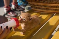 Χαριτωμένος λίγο πόσιμο γάλα γατών από ένα βάζο Στοκ Εικόνες