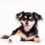 Χαριτωμένος λίγο σκυλί στο άσπρο υπόβαθρο στο στούντιο Στοκ Εικόνες