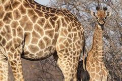 Χαριτωμένος λίγο giraffe cub πίσω από τη μητέρα του στοκ φωτογραφία