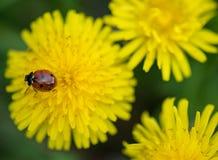 Χαριτωμένος λίγο ladybug Στοκ Φωτογραφίες