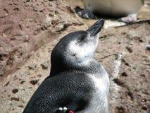 Χαριτωμένος λίγο Penguin με το κεφάλι του που αυξάνεται Στοκ Εικόνες