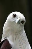 χαριτωμένος αετός Στοκ Φωτογραφίες