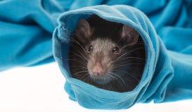 Χαριτωμένος αρουραίος κατοικίδιων ζώων σε ένα μανίκι Στοκ φωτογραφία με δικαίωμα ελεύθερης χρήσης