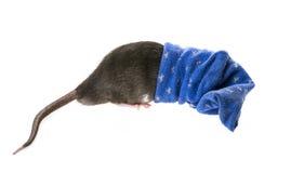 Χαριτωμένος αρουραίος κατοικίδιων ζώων σε μια κάλτσα Στοκ φωτογραφία με δικαίωμα ελεύθερης χρήσης