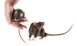 Χαριτωμένος αρουραίος κατοικίδιων ζώων Στοκ φωτογραφία με δικαίωμα ελεύθερης χρήσης