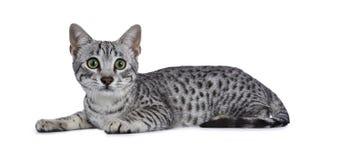 Χαριτωμένος ασημένιος επισημασμένος αιγυπτιακός καθορισμός γατακιών γατών Mau που απομονώνεται στο άσπρο υπόβαθρο που φαίνονται ε Στοκ εικόνες με δικαίωμα ελεύθερης χρήσης