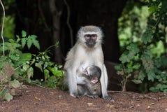 Χαριτωμένος ασημένιος πίθηκος μωρών που αγκαλιάζει τη μητέρα του Στοκ φωτογραφία με δικαίωμα ελεύθερης χρήσης