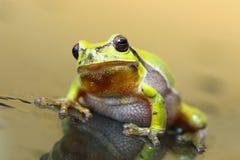 Χαριτωμένος βάτραχος δέντρων στην επιφάνεια γυαλιού Στοκ Φωτογραφίες